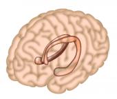 El hipocampo es la región del cerebro responsable, en gran medida, de la formación de la memoria/Neuron