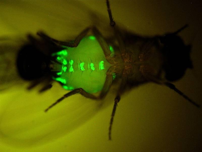 Cómo crear moscas sexualmente irresistibles