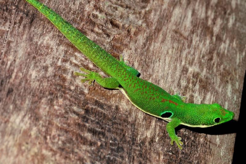 Madagascar es un punto crítico de las extinciones, con un 21%. Los Geckkonidae  (como el Phelsuma quadriocellata) se están extinguiendo.
