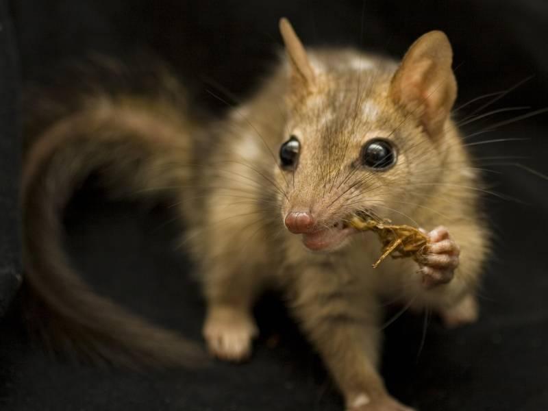 Enseñan a una especie de marsupial a no comer presas tóxicas