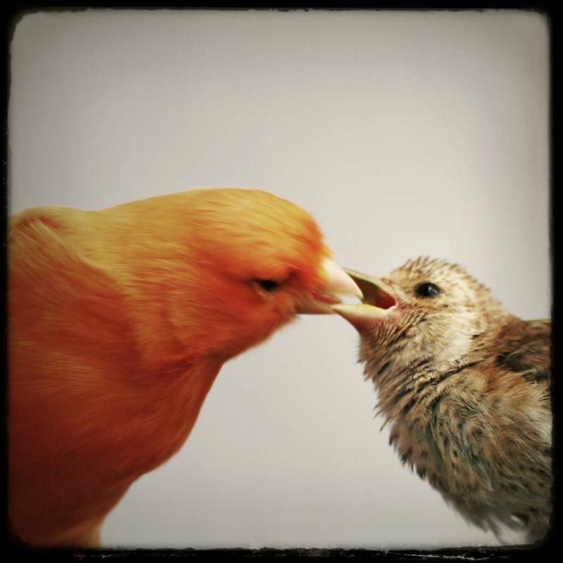 Estudian la relación entre canarios hembras y crías