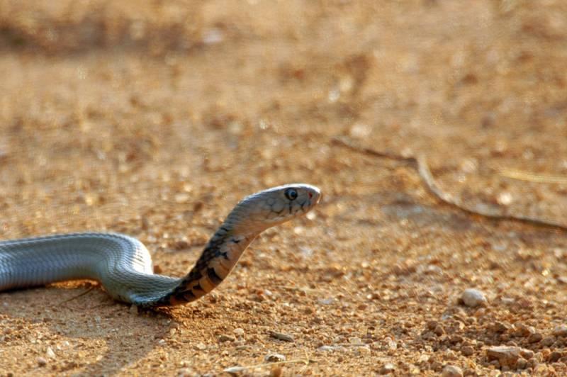 La cobra escupidora predice los movimientos de su 'agresor' para dirigir el veneno