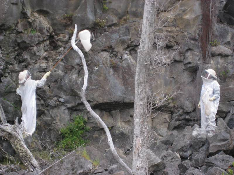 Las avispas invasoras arrasan en Hawai