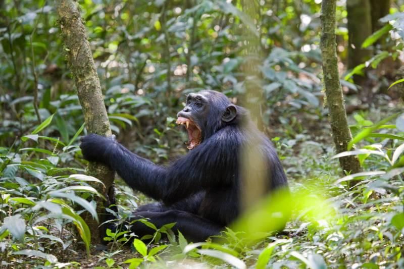 Un chimpancé en el bosque Kibale de Uganda.