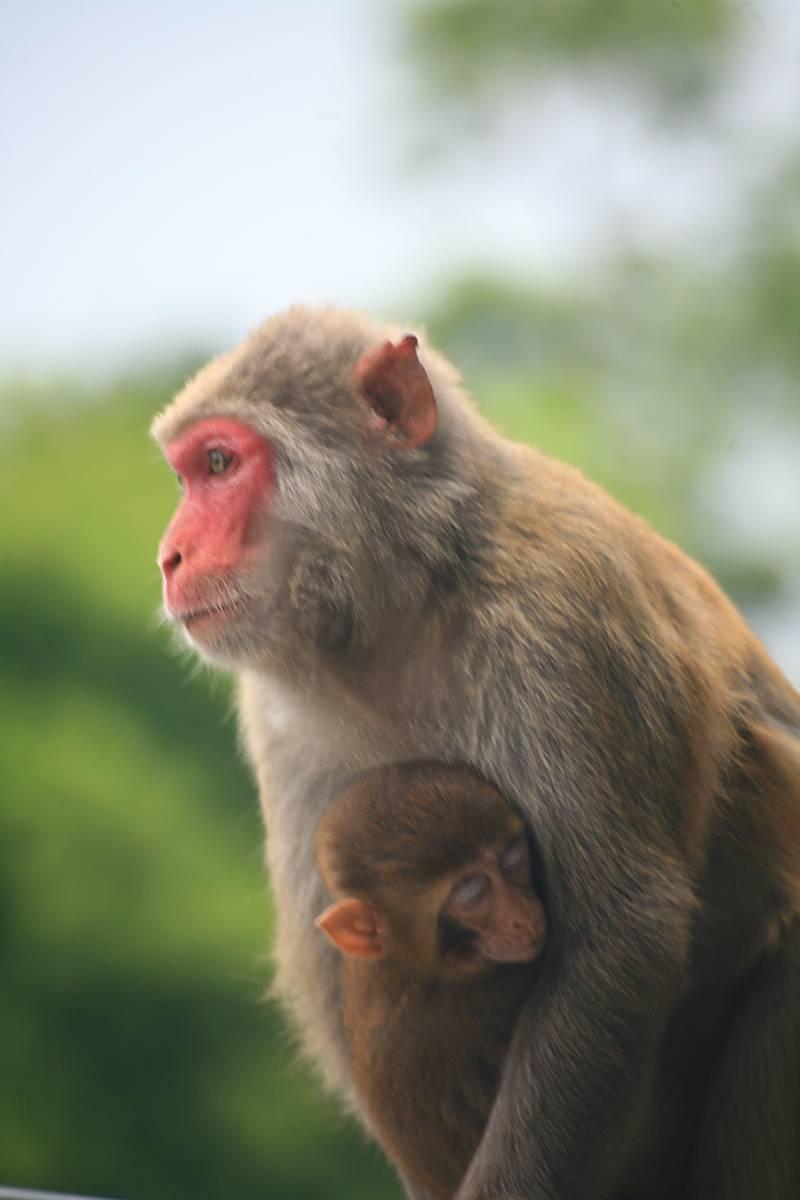 Las mamás macaco también interactúan con sus bebés