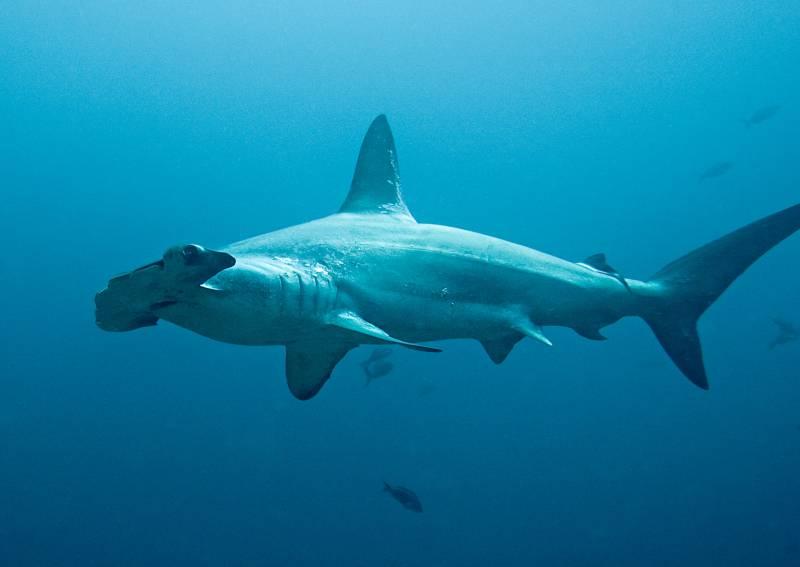 Localizan por primera vez el origen geográfico de las aletas de tiburón que se comercializan