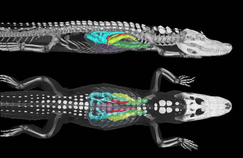 Los caimanes respiran como las aves