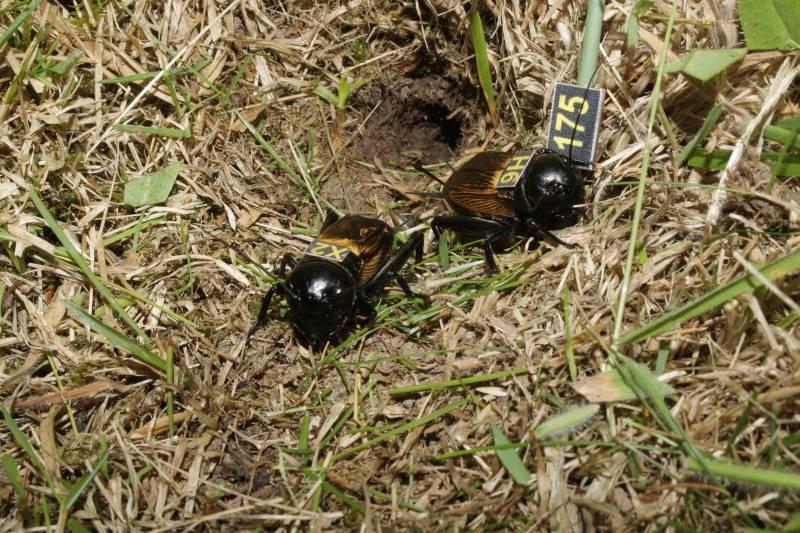 Grillos macho y hembra en su hábitat natural en Asturias.