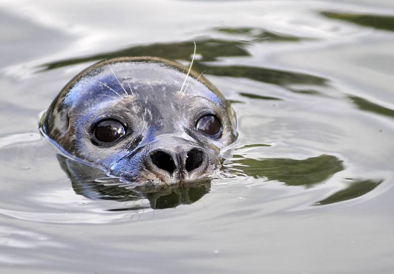 Los niveles de mercurio en las focas del Ártico pueden estar vinculados al calentamiento global