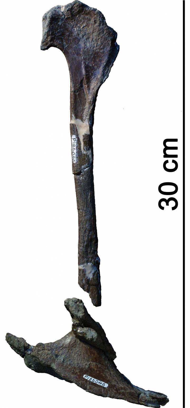 Restos fósiles de un tiranosaurio que habitó el hemisferio sur.