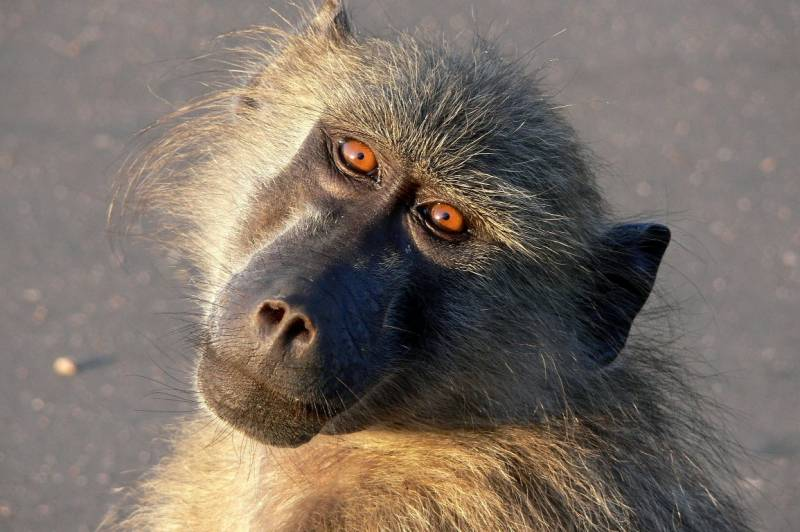 Muestran que los babuinos y las palomas tienen altos niveles de cognición