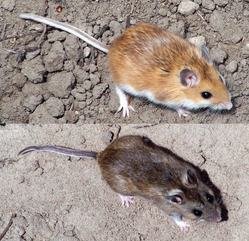 Ratones que adaptan el color de su pelaje al entorno
