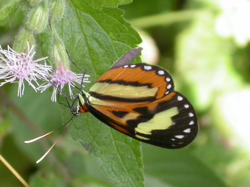 La mariposa Hypothyris euclea en una flor de la Serra do Japi, uno de los vestigios más importantes de bosque nativo en el Estado de Sao Paulo.