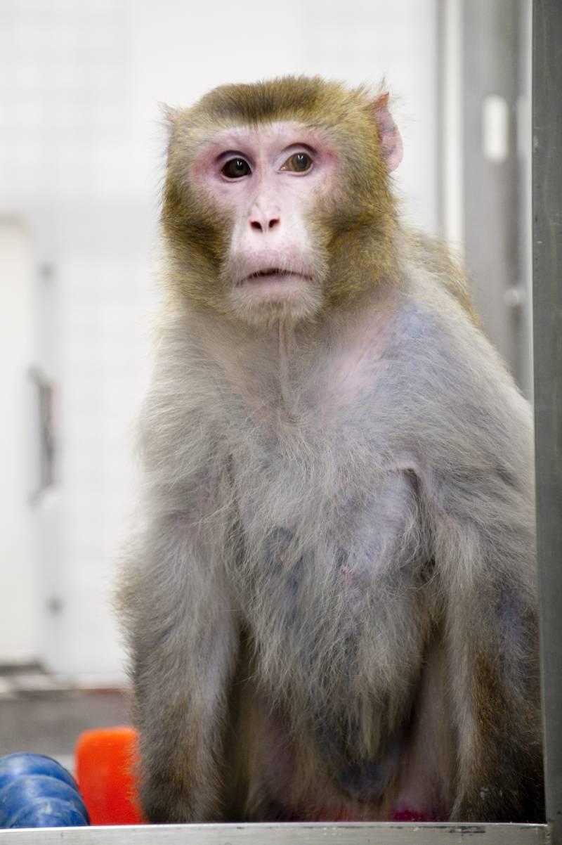 El mono rhesus Canto, de 27 años de edad, uno de los ejemplares más ancianos.