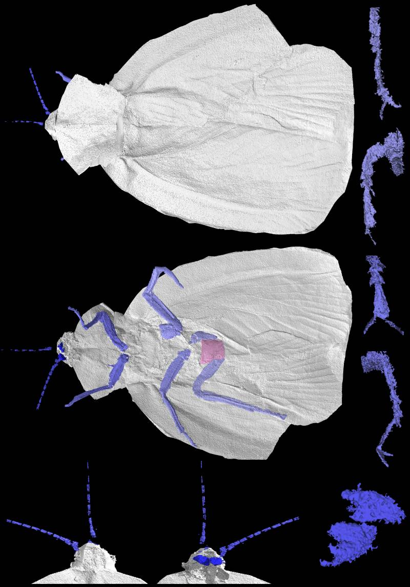 El antepasado fósil de la cucaracha (Archimylacris eggintoni) en 3D.