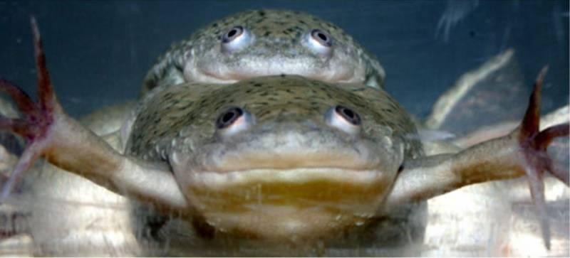 Un pesticida muy habitual castra a las ranas macho africanas