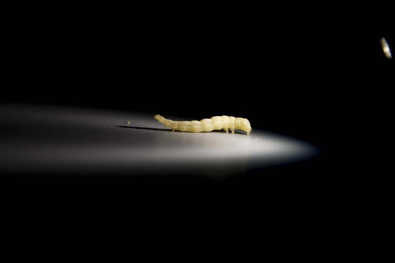 Larva de gusano
