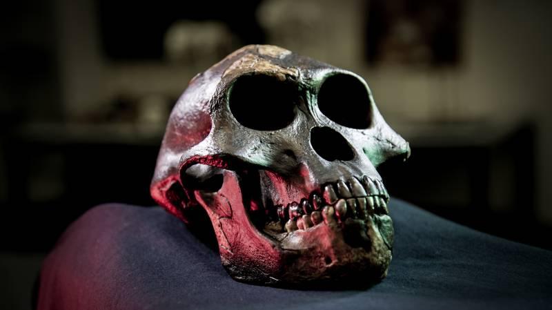 Cráneo de Lucy, Australopithecus afarensis, incluida en el estudio / David Hocking