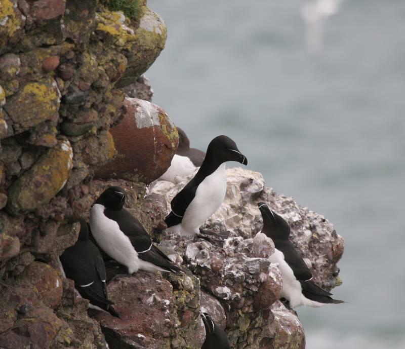 El alca común (Alca torda) no se reproduce en el litoral español, pero es el álcido más frecuente en el país
