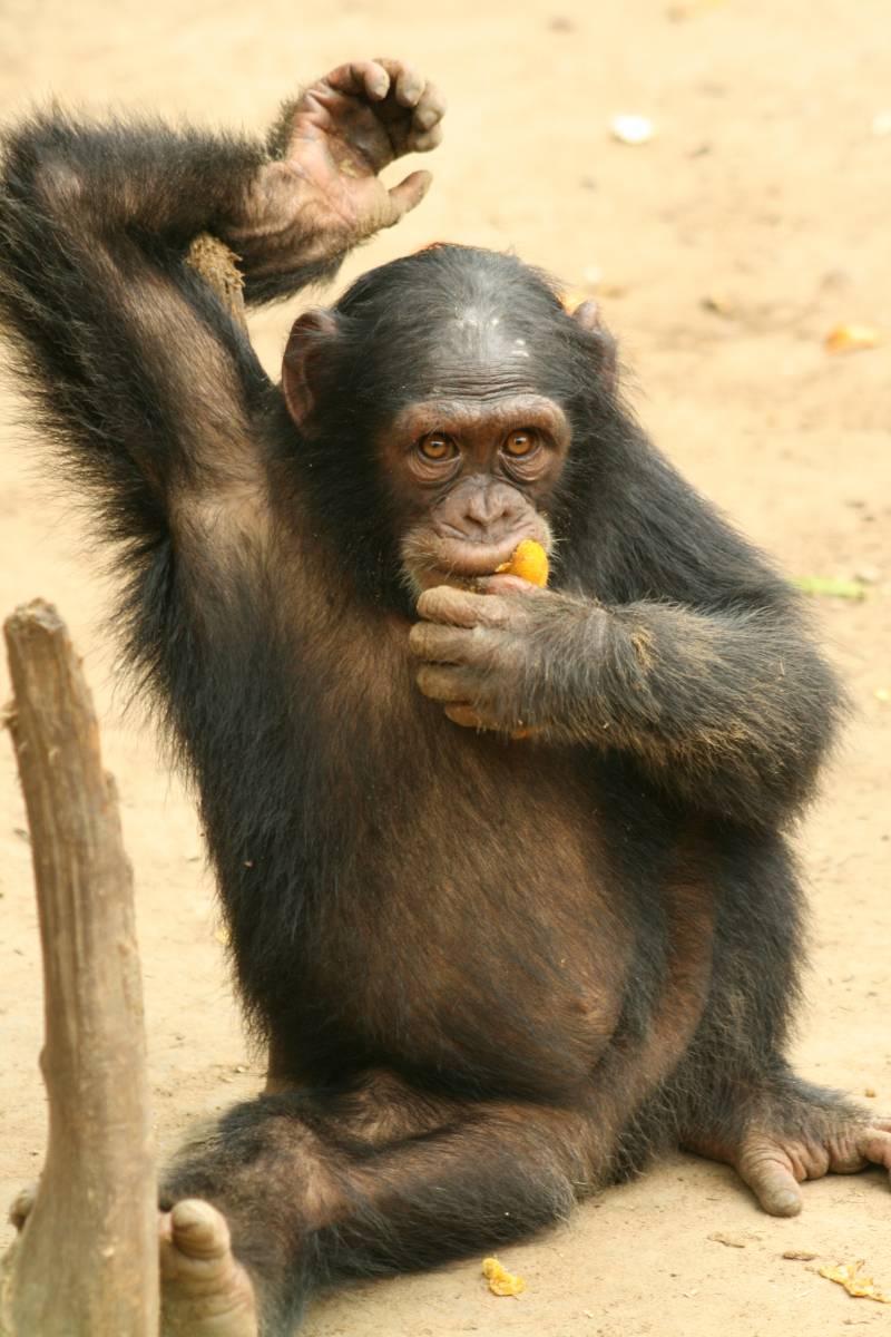 Un cirujano opera a una chimpancé de Camerún