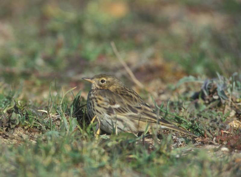 El bisbita pratense es un pequeño pájaro de colores muy discretos y de hábitos terrestres y gregarios