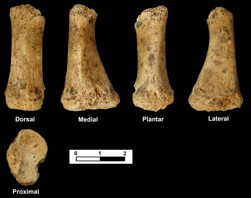 Metatarsiano encontrado, que corresponde al dedo pulgar del pie izquierdo de un adulto neandertal. Imagen: Jesús F. Jordá Pardo.
