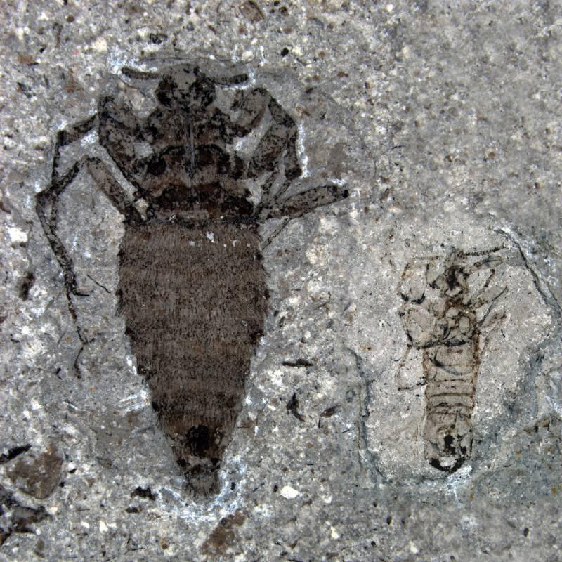 Fósil de pulga gigante