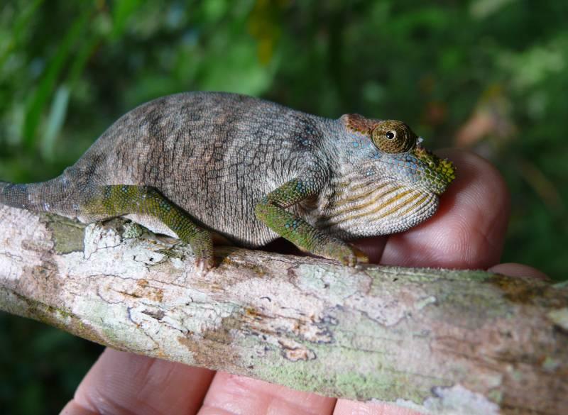 Descubren una nueva especie de camaleón en Tanzania
