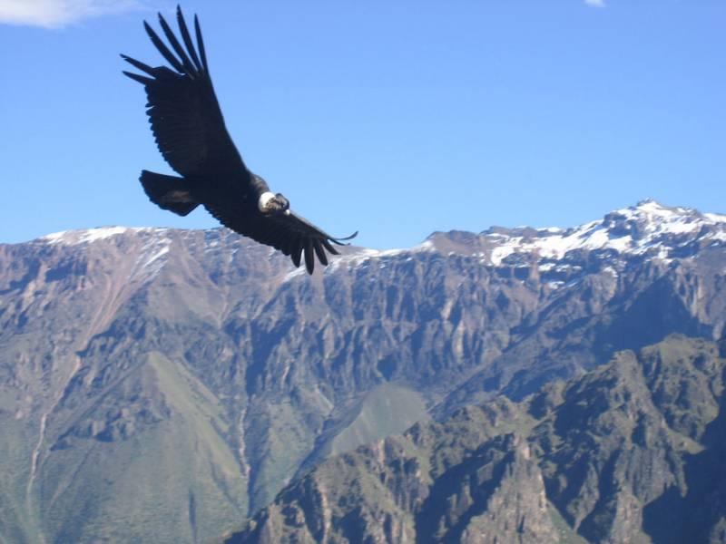 Un cóndor sobrevuela la cordillera de los Andes. Imagen por Matito