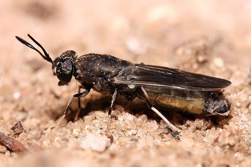 El 90% de los excrementos del zoo Terra Natura puede eliminarse con moscas