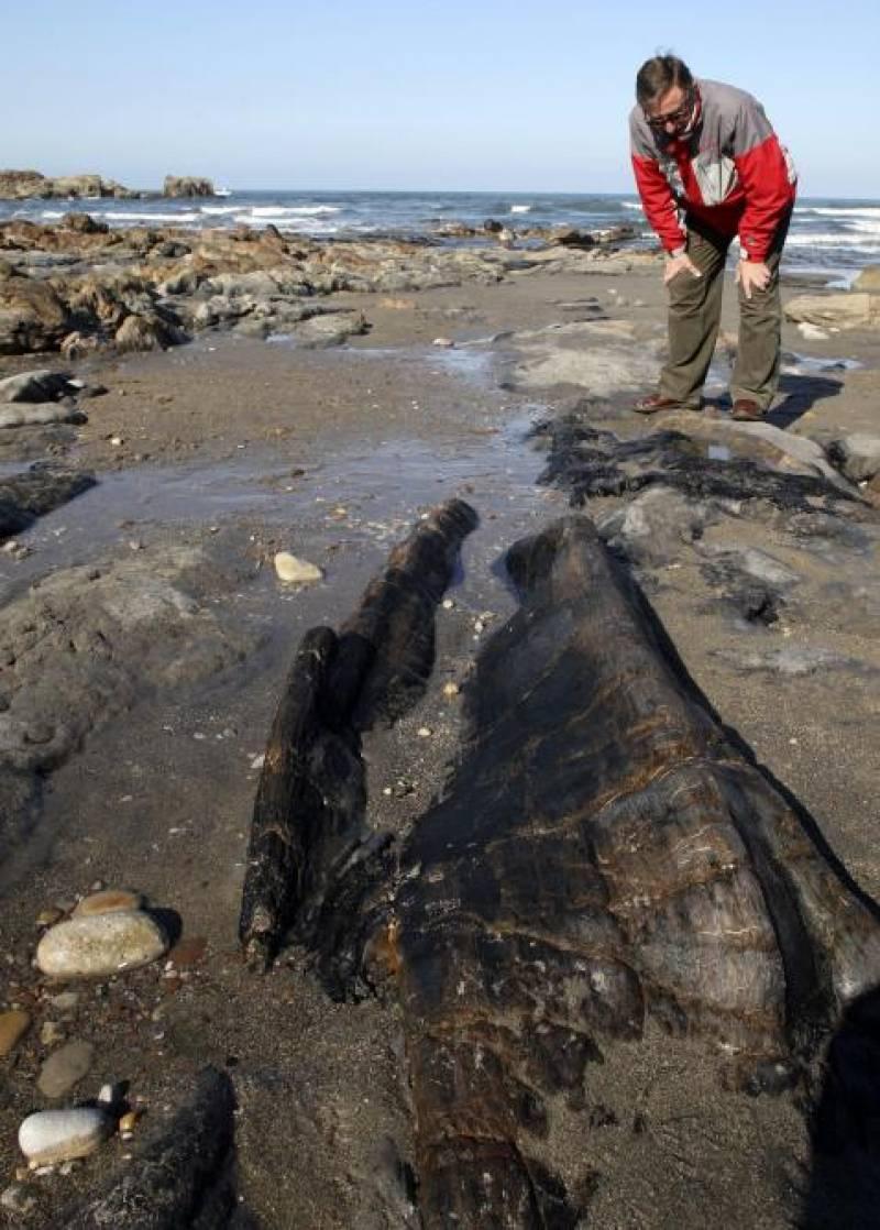 Un hombre observa uno de los restos de ejemplares de árbol de 300 millones de años de antigüedad que han quedado al descubierto en la playa de Arnao. /Efe