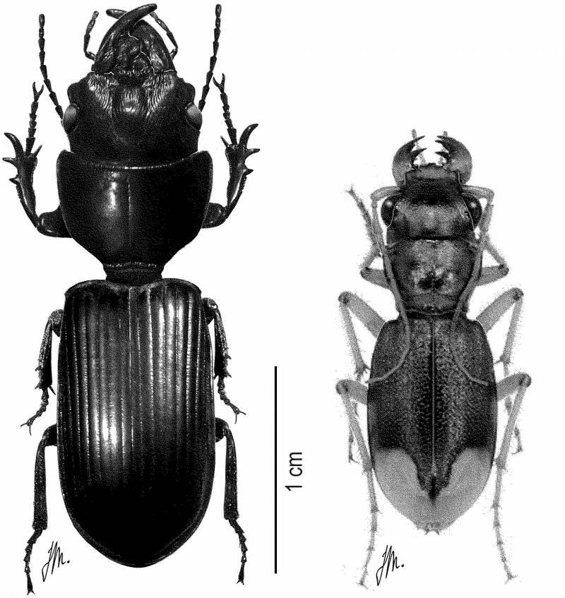 El incremento del regadío en el Mar Menor reduce las poblaciones de escarabajos tenebriónidos