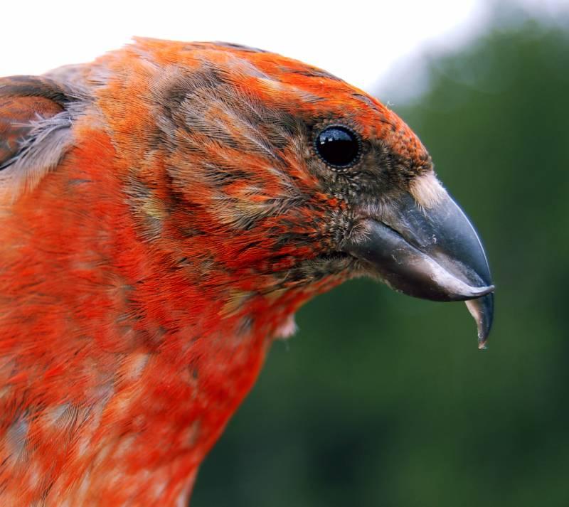 El secreto del color de las plumas de las aves se encuentra en el hígado