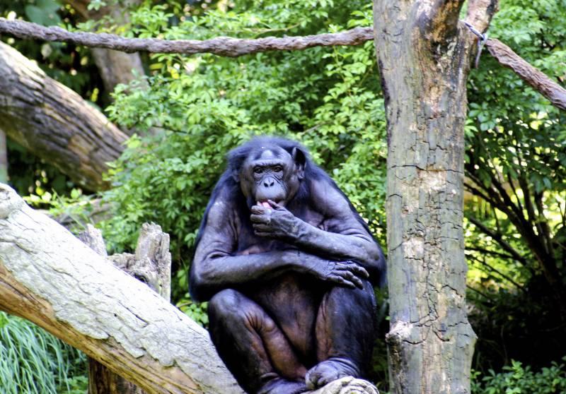 Los bonobos, menos pacíficos de lo que se pensaba
