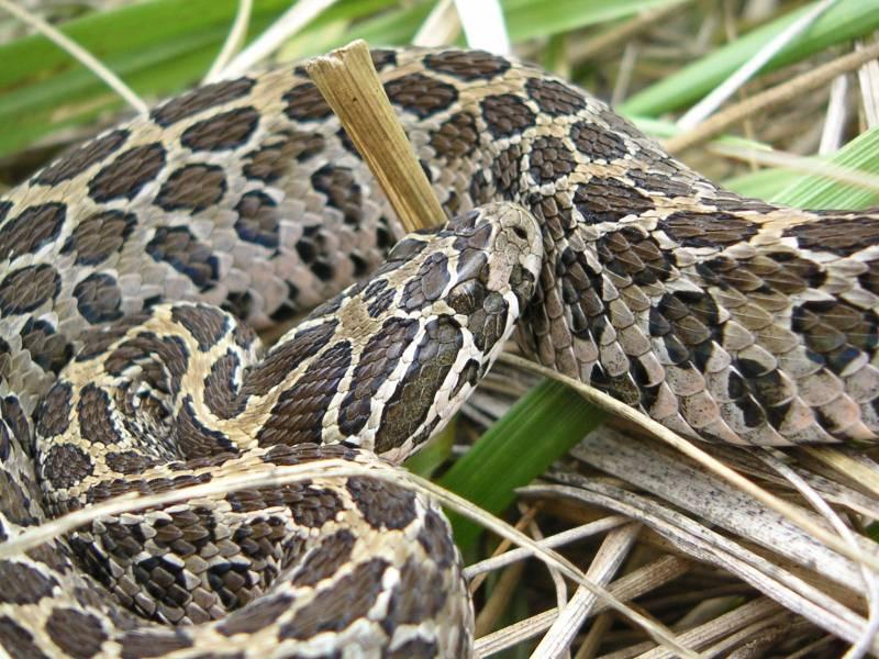 El canibalismo de las serpientes de cascabel permite a las hembras recuperarse tras el parto