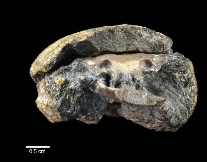 Descubren un fósil de cerebro perfectamente conservado