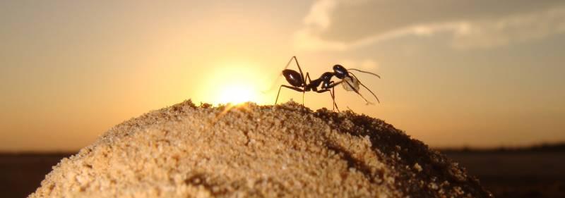 Las hormigas del desierto 'huelen' su camino de vuelta a casa