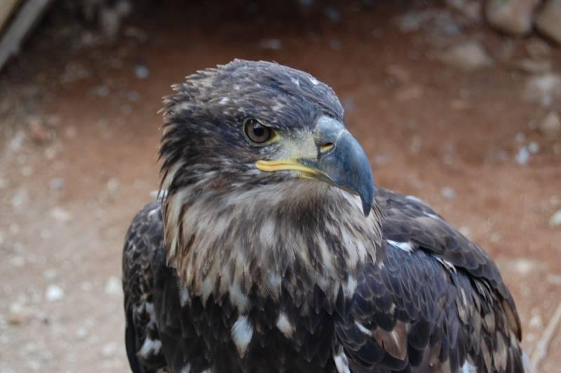 Las poblaciones de águila imperial se han multiplicado por seis en España