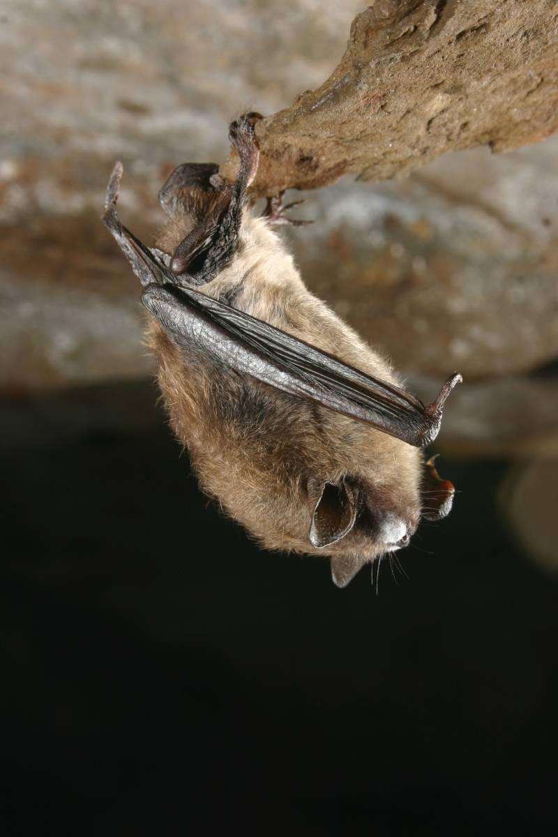 El hongo blanco, posible culpable de la extinción de murciélagos