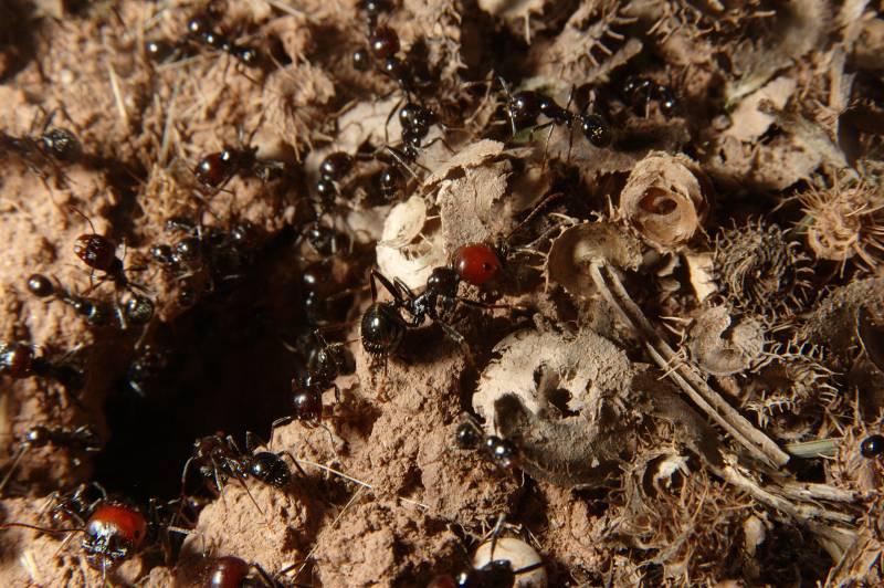 Las hormigas del hemisferio sur ganan en riqueza y diversidad (II)