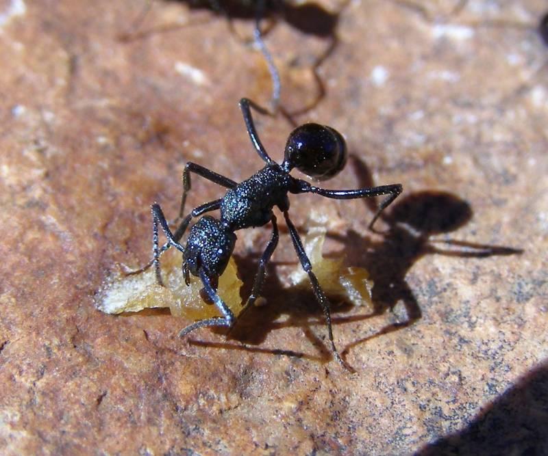 Las hormigas del hemisferio sur ganan en riqueza y diversidad (y III)