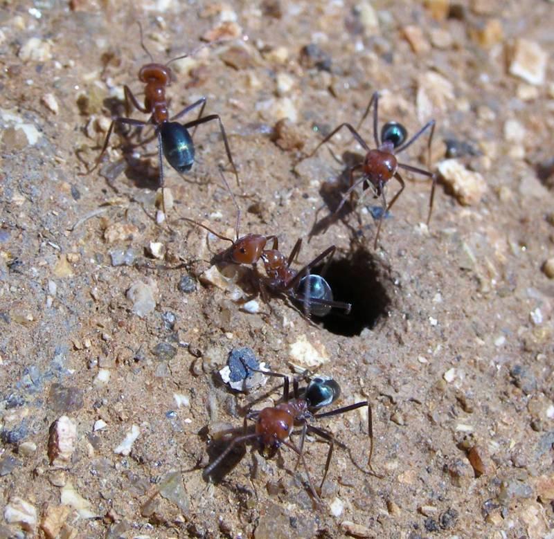 Las hormigas del hemisferio sur ganan en riqueza y diversidad