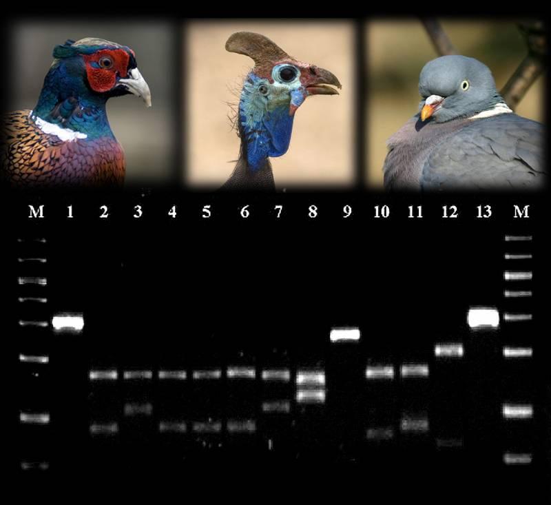 Usan el ADN para distinguir la carne de las aves de caza
