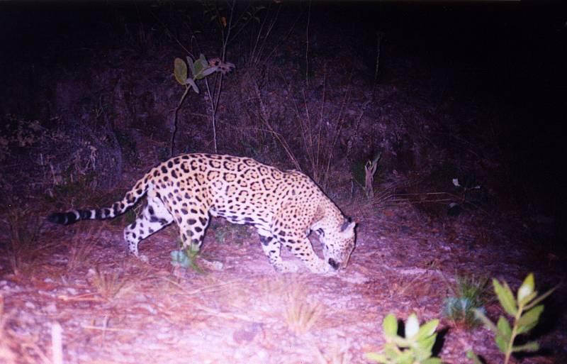 Observan por primera vez en 100 años a un jaguar en el centro de México