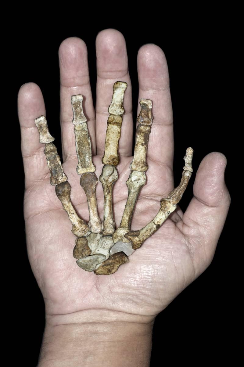Una mano humana sostiene la de sediba