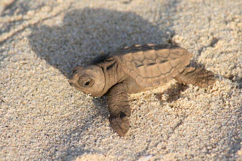 Tortuga boba recién nacida en las playas de Boavista, Cabo Verde. Image: Adolfo Marco / CSIC.