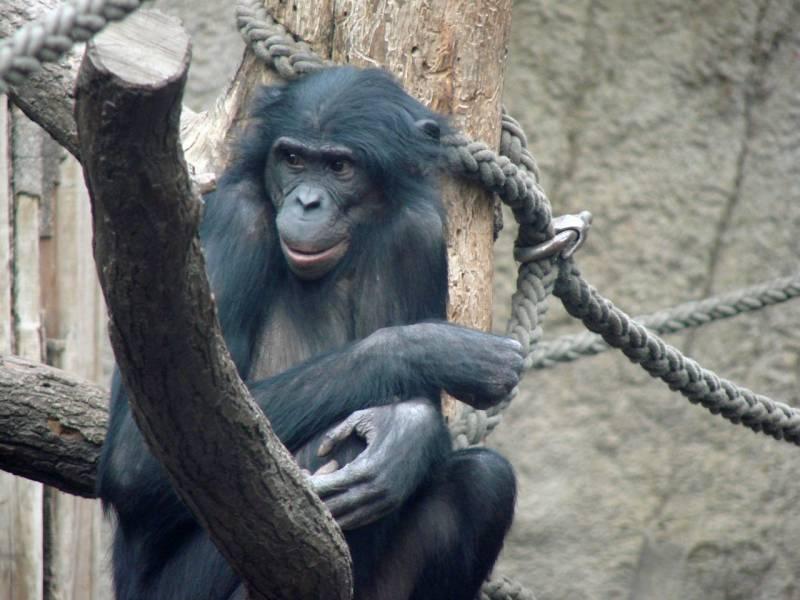 Ulindi, la hembra de bonobo cuyo ADN se ha secuenciado, en el zoológico de Leipzig (Alemania). Imagen: MPI for Evolutionary Anthropology