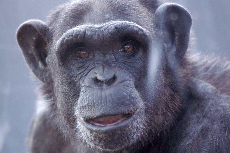 Las hembras de chimpancé consuelan más que los machos