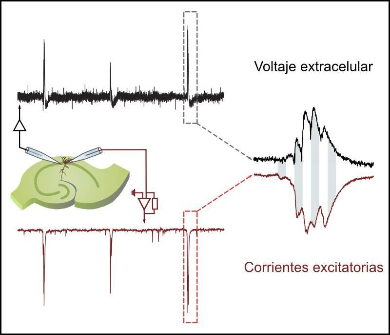 """Las neuronas de la memoria se coordinan de forma """"exquisita"""""""