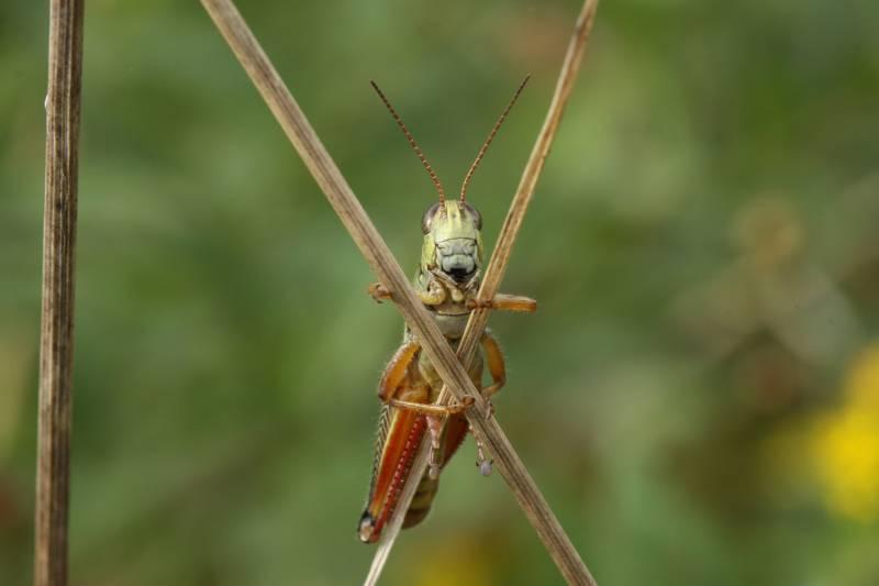 Un saltamontes escondiéndose detrás de unas cañas. Imagen: Dror Hawlena.